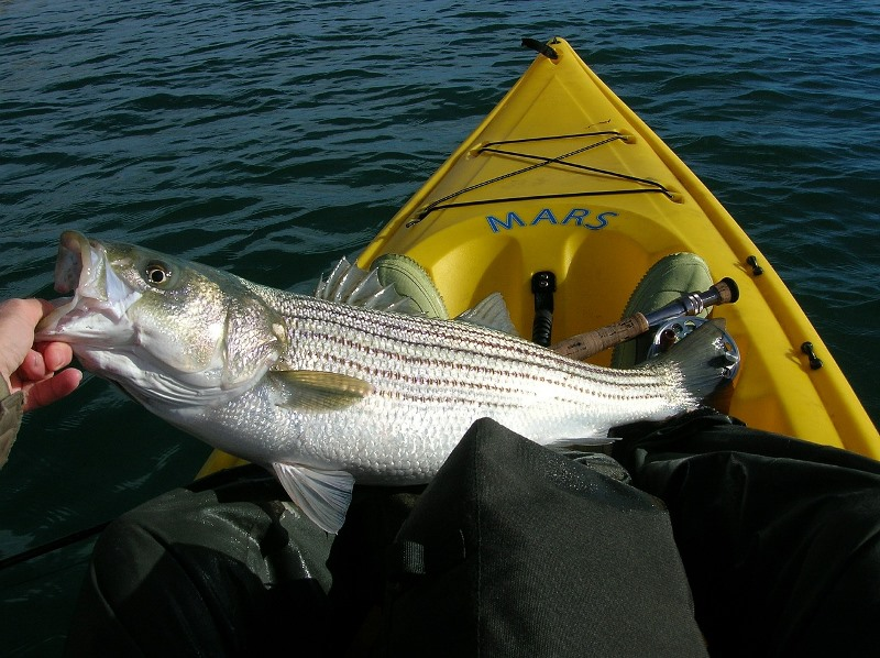 striped bass ocean
